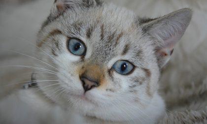 Dal 2020 in Lombardia obbligatorio il microchip anche per i gatti