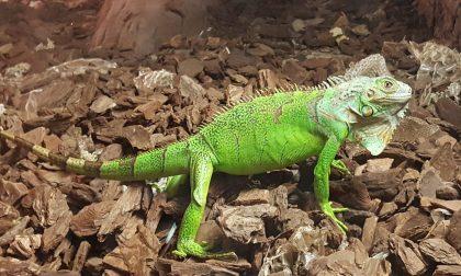 Iguana verde abbandonata dai proprietari