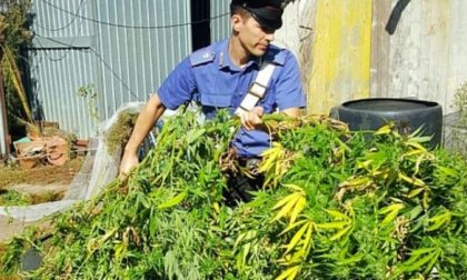 Coltivano illegalmente marijuana nel giardino di casa