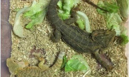 """Abbandonò due esemplari di """"drago barbuto"""", individuato il responsabile"""