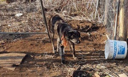 Cane alla catena tra feci e rifiuti: liberato dalle guardie zoofile VIDEO