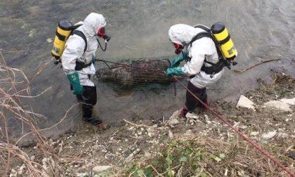 Affiorano dall'acqua le carcasse di quattro vitellini