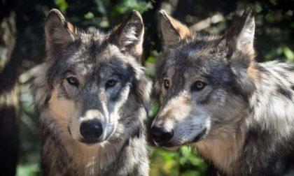 Ancora lupi in Oltrepò, ripresi dalle telecamere di un'abitazione