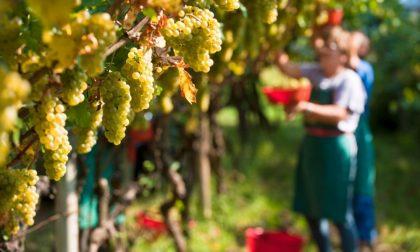 """Vendemmia 2020, allarme prezzi: """"I viticoltori rischiano di lavorare in perdita"""""""