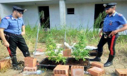 Marijuana: piante a Pavia, dosi in tasca a Bereguardo e Mortara