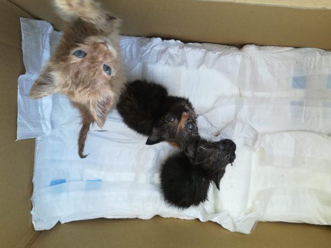 Killer di gatti usa trappole di bracconaggio in Lomellina ECCO COME