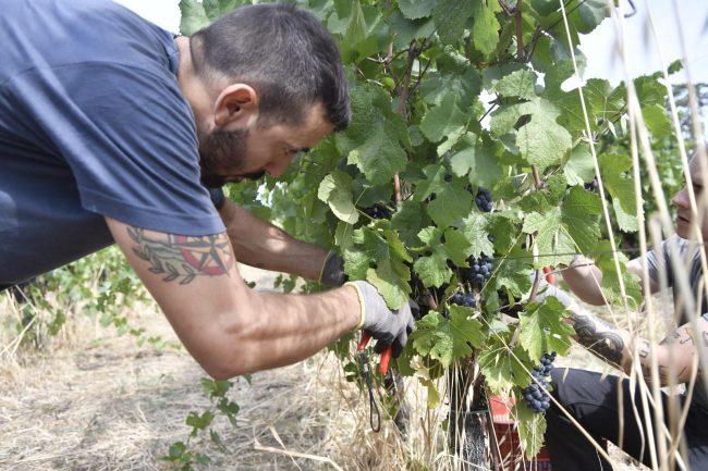 """- 20%di produzione dei grappoli causa maltempo, Rolfi: """"""""Puntiamo sulla qualità e distintività del vino"""""""