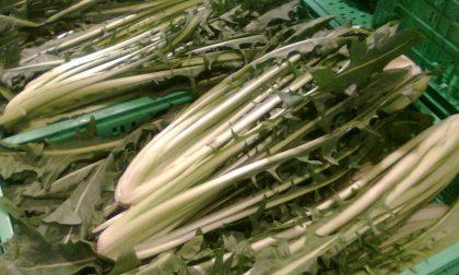 Pavia, cicoria comprata al mercato contiene tracce di piante velenose: coniugi intossicati