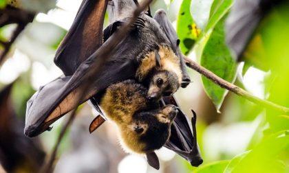 Pipistrelli a rischio, l'allarme lanciato dall'Università di Pavia
