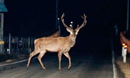 Cervo semina panico a Vigevano: inseguito per due ore (e poi salvato)