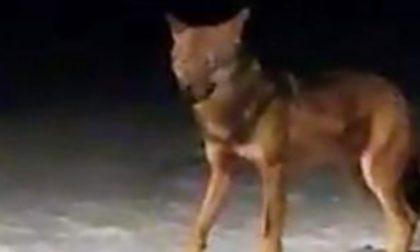 Filmato un lupo a Bormio? VIDEO SPETTACOLARE