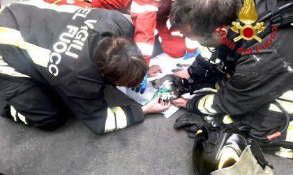 Gatto rianimato dai Vigili del fuoco dopo incendio in casa VIDEO