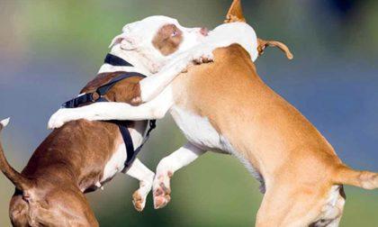 Lite tra cani, il molosso azzanna alla pancia il meticcio che muore