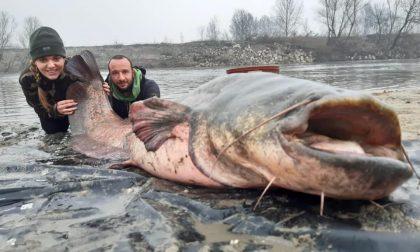 Fiume Po, pescato pesce siluro di oltre 2 metri FOTO