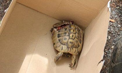Tartaruga investita (e ferita) da un'auto: salvata dai Carabinieri Forestali FOTO