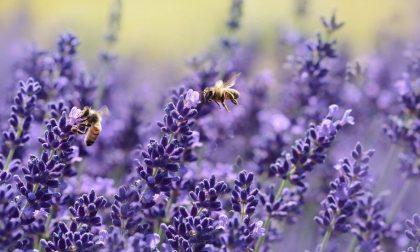 La fioritura della lavanda in Oltrepò Pavese: uno spettacolo per occhi e olfatto FOTO