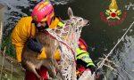 Rischia di annegare nel canale: capriolo salvato dai Vigili del Fuoco FOTO – VIDEO