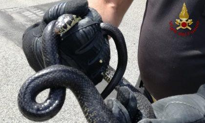 Serpente a Casorate Primo: intervengono i Vigili del Fuoco