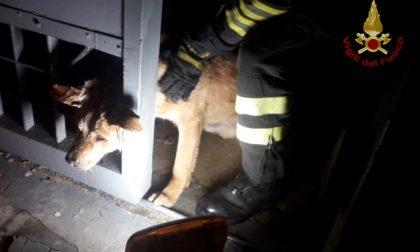 Rimane incastrato con la testa in un cancello: cane salvato dai Vigili del Fuoco