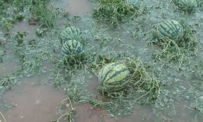 Maltempo, violenta grandinata nell'Abbiatense: frutta e verdure triturate, danni anche sul mais FOTO