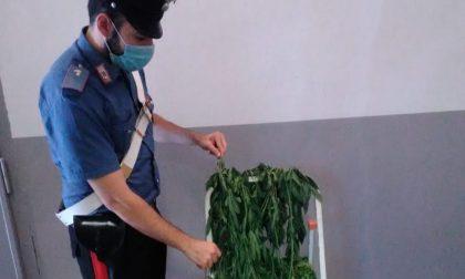 Resta chiuso fuori casa, arrivano i soccorsi e scoprono una coltivazione di marijuana in camera da letto