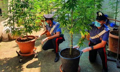 Trovata con nove piante di marijuana alte 3 metri: denunciata