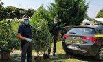 Nascoste nell'orto anche 25 piante di marijuana: nei guai il proprietario del terreno FOTO