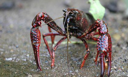 La Lomellina invasa dai gamberi killer: a rischio le biodiversità