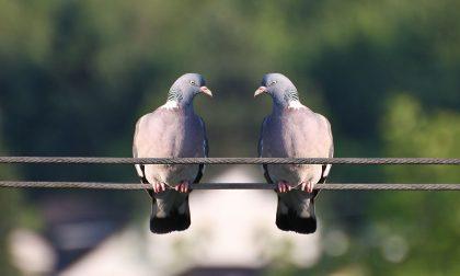 """Lotta ai piccioni: arruolati 600 cacciatori autorizzati al """"controllo"""", 13 a Pavia"""