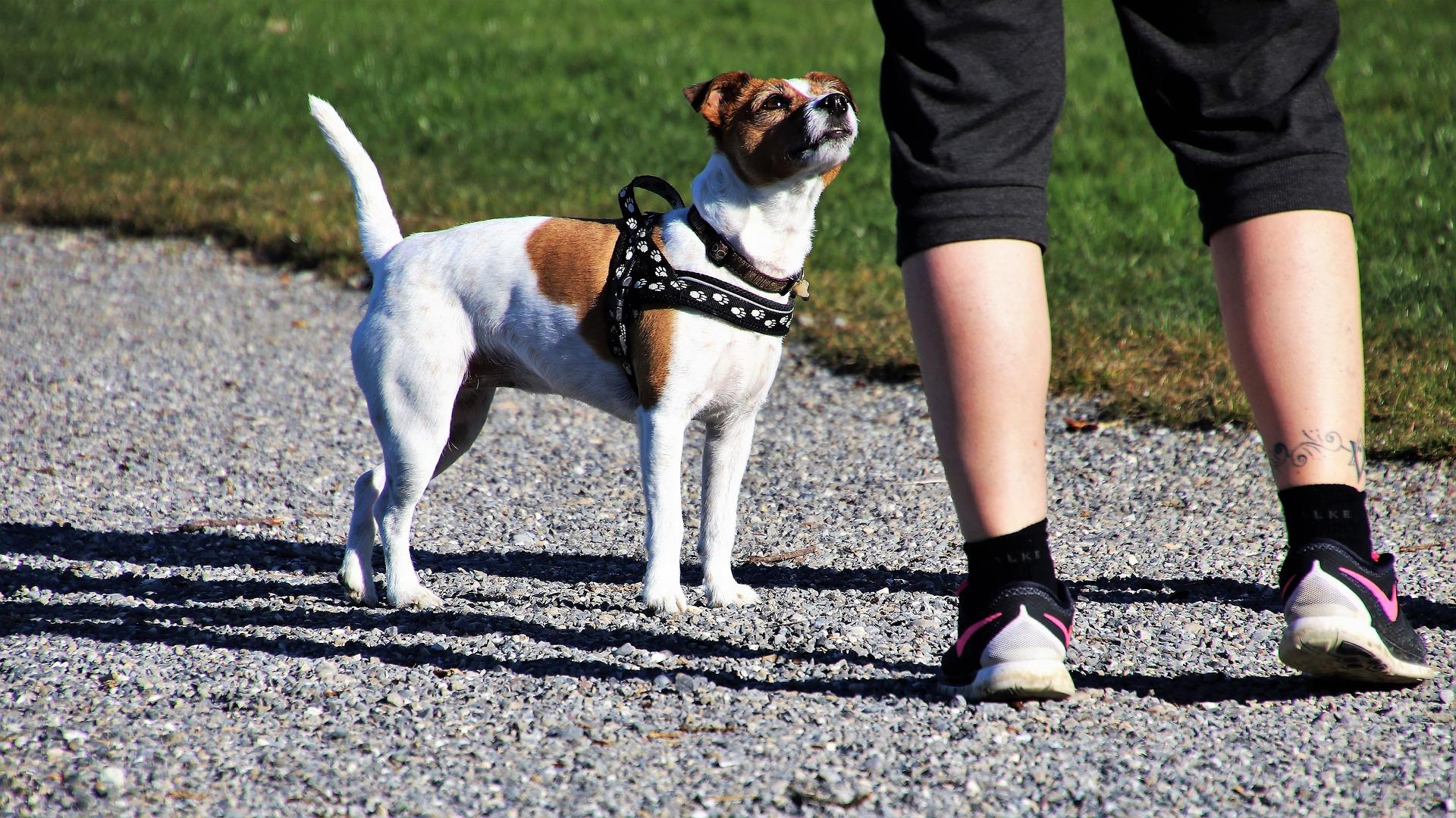 Passeggiare Con Il Cane Regole E Comportamenti In Vigore Da Oggi Prima Pavia