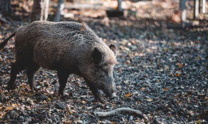 Peste suina: stop all'import di animali da paesi focolaio