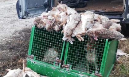 Massacro di minilepri nella Bassa Pavese: abbattuti 47 esemplari