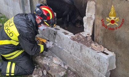 Soccorsi 400 maiali dopo il crollo del tetto di un allevamento FOTO e VIDEO