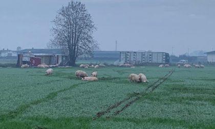 Camion carico di maiali si ribalta: decine di animali fuggono nei campi