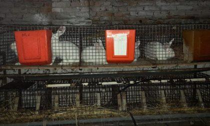 Corteolona: conigli allevati in pessime condizioni igieniche, privi di cibo e tra i loro escrementi