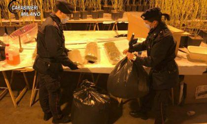 Nel capannone aveva allestito una serra artigianale di marijuana: le foto delle 950 piante