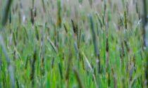 Maltempo, la pioggia (manna per la siccità)salva campi e colture a secco da due mesi