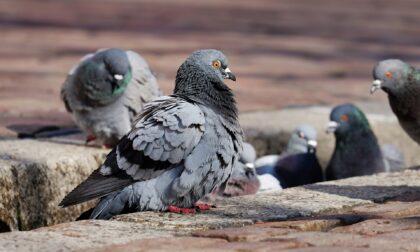 """Abbattimento piccioni a Ottobiano: """"Iniziativa che va chiarita"""""""