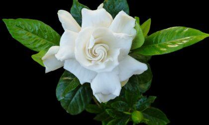 """""""Bentornata Gardensia"""": fermiamo la sclerosi multipla con un fiore"""