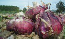 La cipolla rossa di Breme fa gola ai ladri, gli agricoltori organizzano ronde notturne