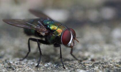 Anomala presenza di mosche in Lomellina: perchè e come difendersi